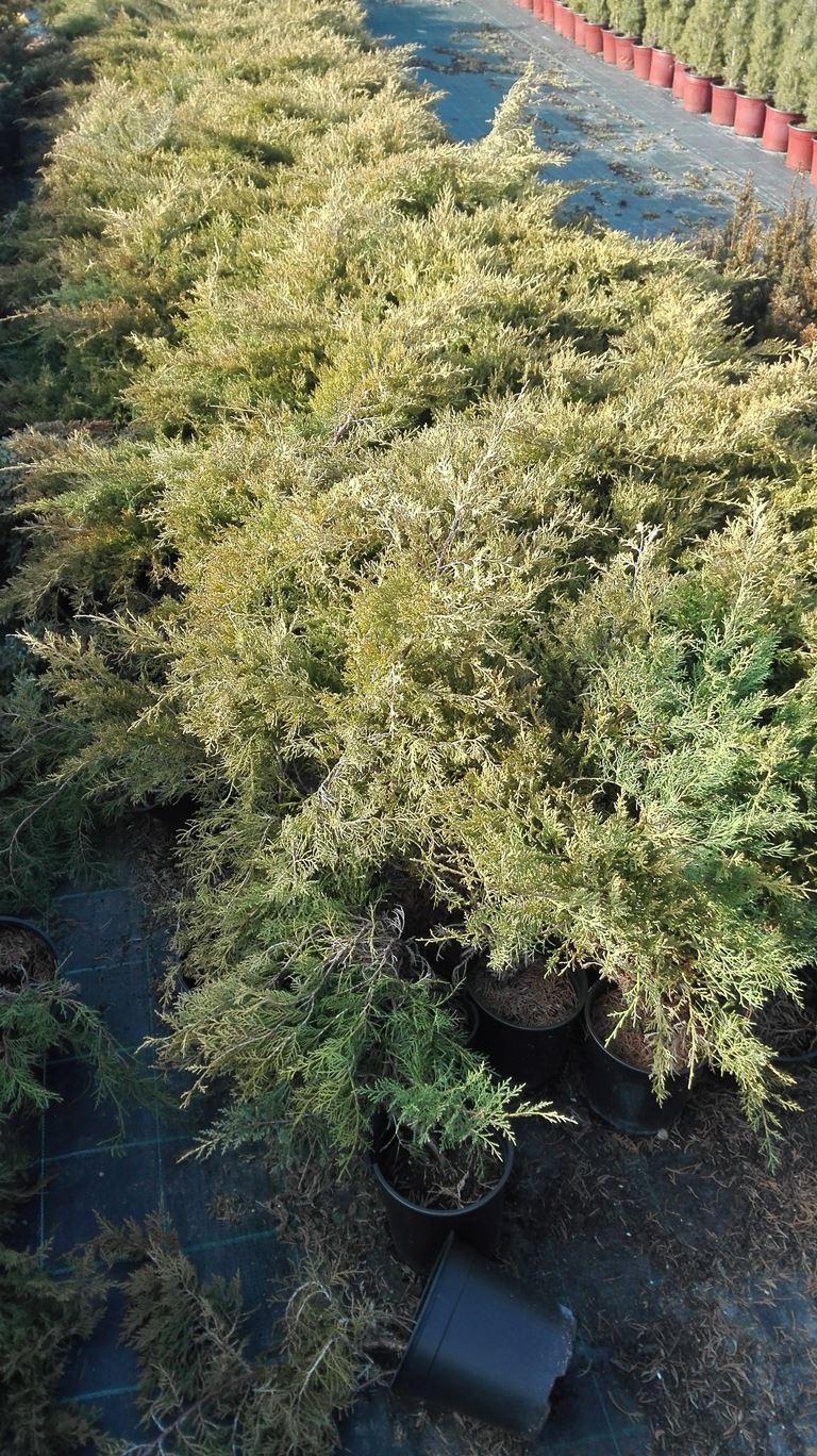 Juniperus chinensis Pfitzeriana Aurea - Polegla kleka svetlo zelene boje žutih krajeva