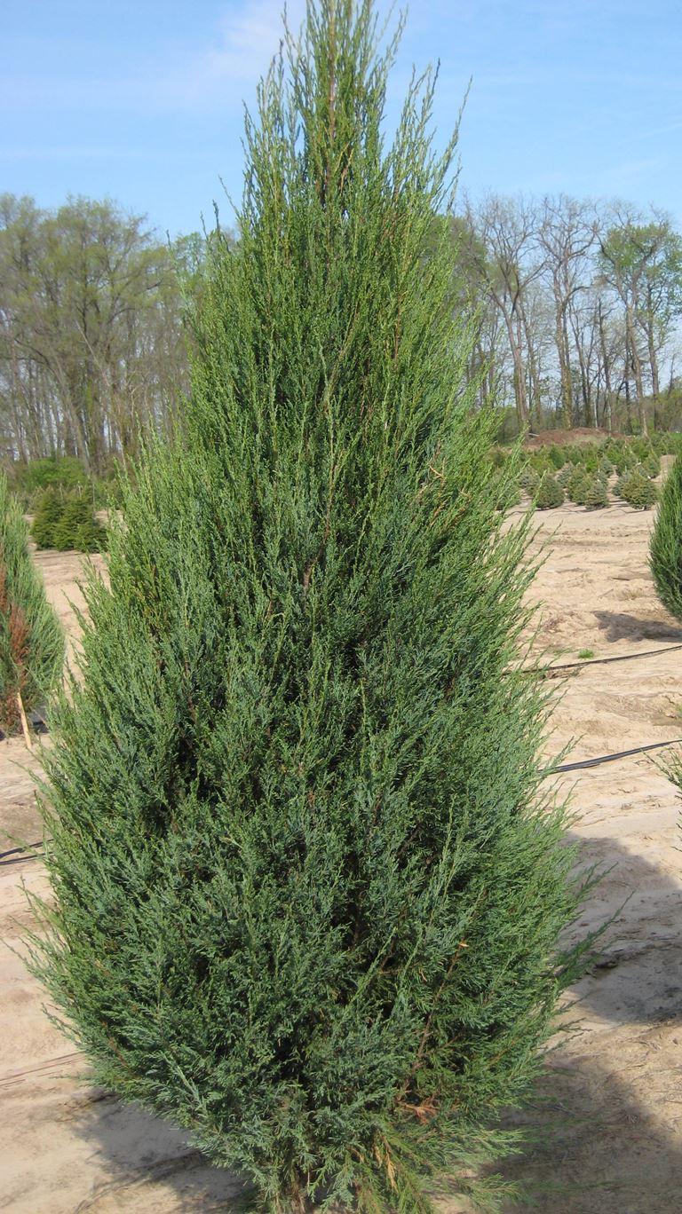 Juniperus virginiana skyrocet - Lažni čempres, Virdžinijaniska kleka