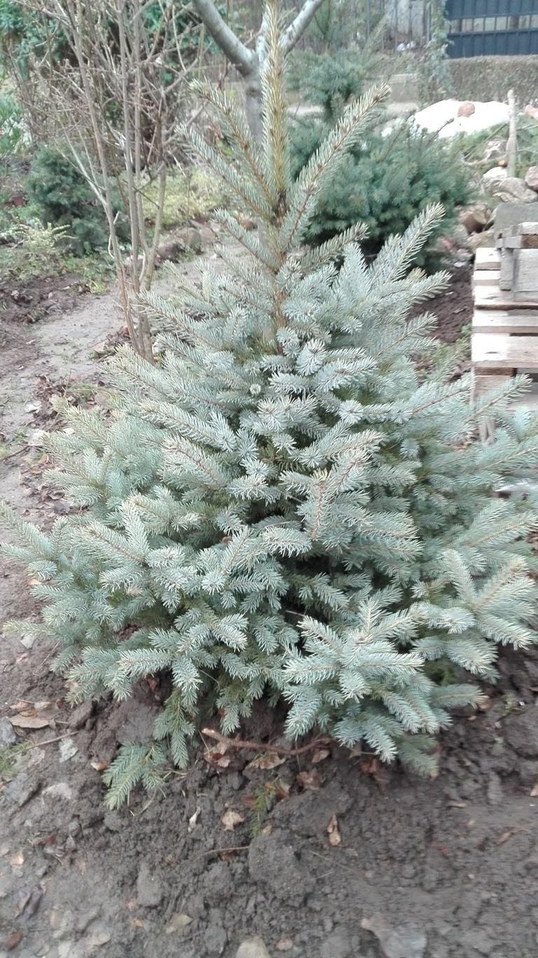 Picea pungens glauca - Plava, srebrna smrča