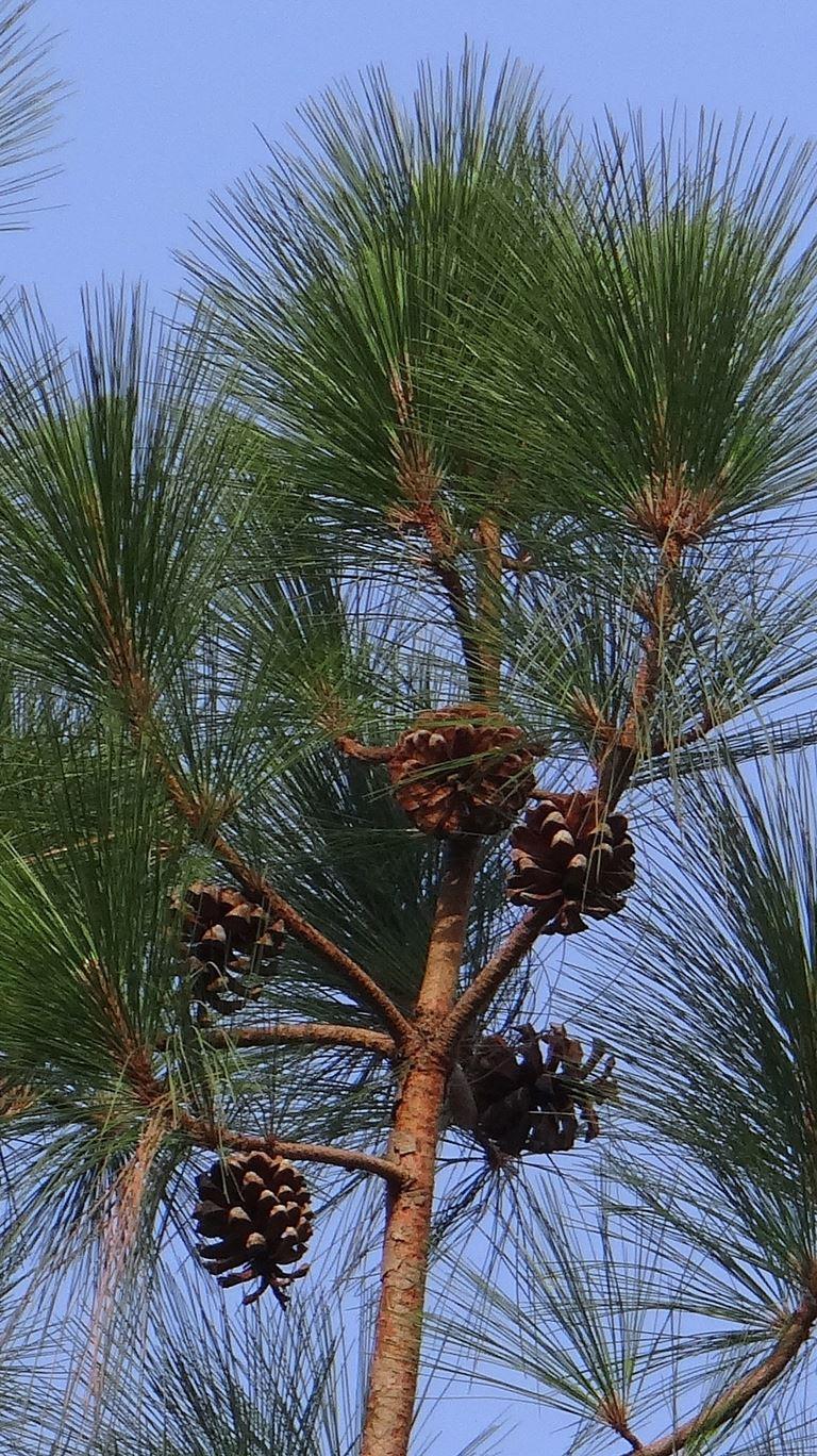 Pinus excelsa - Himalajski bor