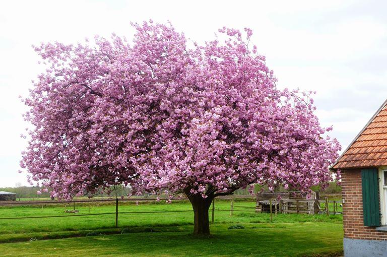 Prunus Hisakura