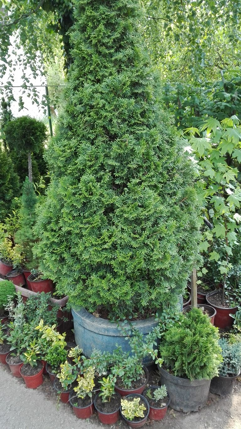 Thuja occidentalis Smaragd - Smaragdna tuja