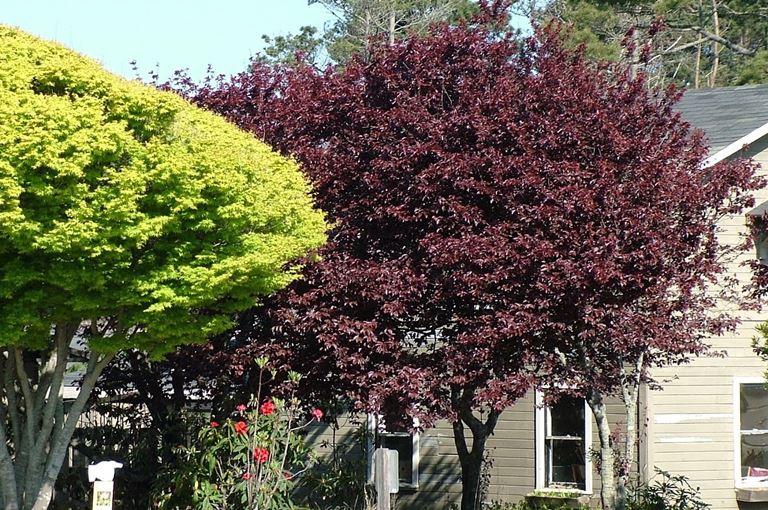 Prunus cerasifera Pissardii Nigra