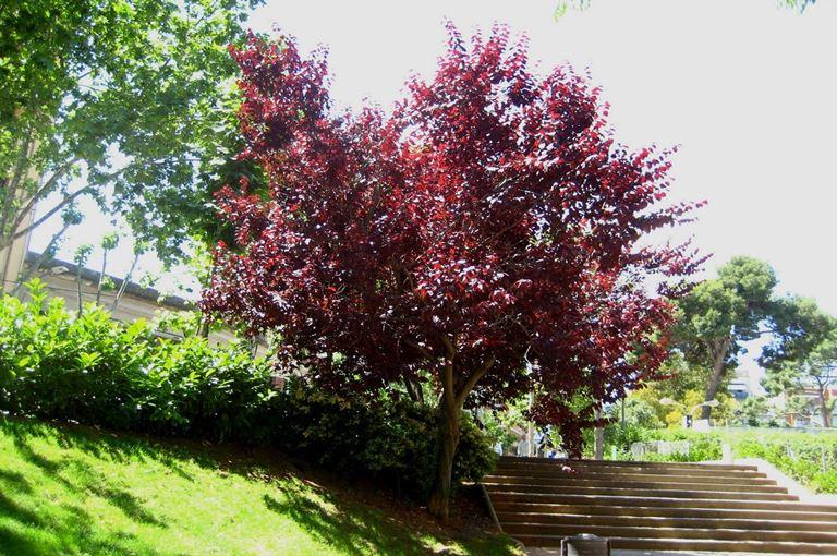 Prunus pisardi attropurpureum