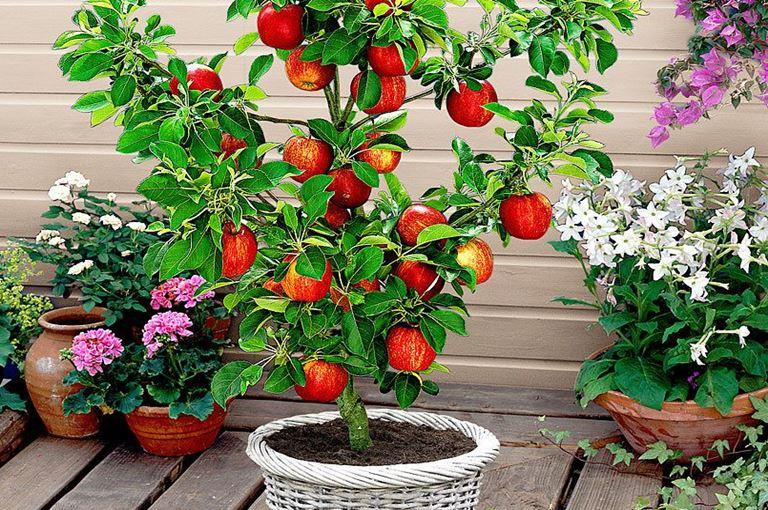 Patuljasto voće